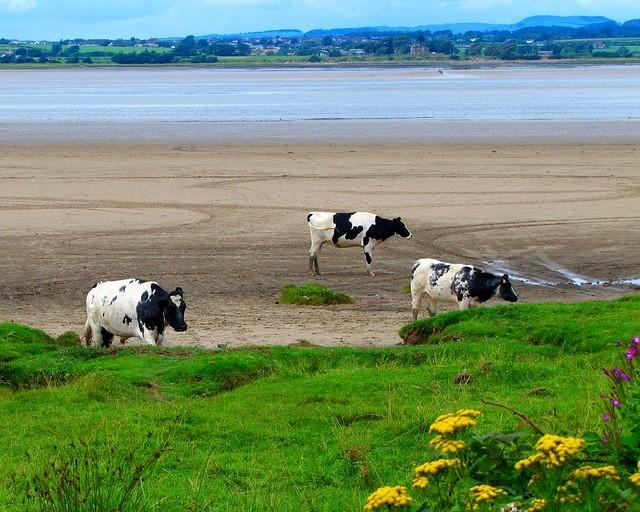 2010 08 07  Bowness on Solway  Cattle on Sands