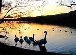 2012 01 12 Sunset at Coniston with swans coming ashore