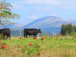 2014 09 17 High Crag cattle and Red Screes
