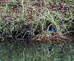 1992  Grebe on nest - actually a COOT!.jpg