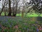 Winster Valley bluebells.jpg