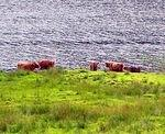 07 08 23   12.55 pm  Highland Cattle at Loch Voil [lake of the pebbly beach].jpg