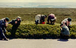 1971 Whinberrying on Winsford Hill.jpg