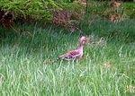 B  Geese - safe in the grass.jpg